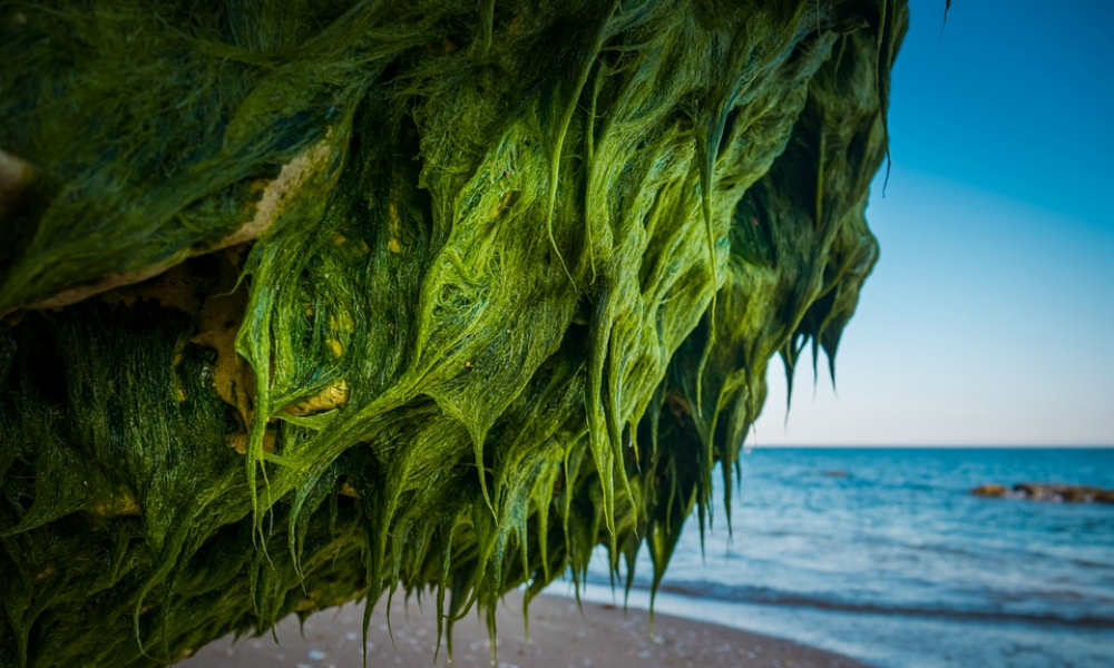 sea-moss-how-to-prepare-2020-benefits-uses